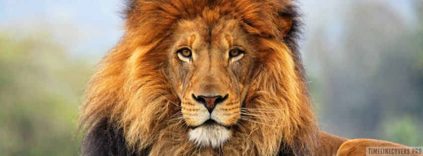 Beautiful Lion Facebook cover photo