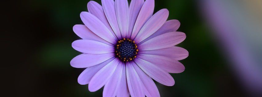 Beautiful Purple Bloom Blooming Blossom Facebook cover photo