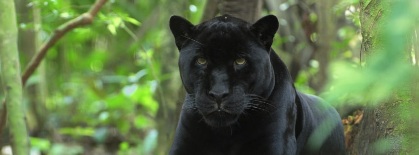 Black Panther in The Forest Facebook cover photo