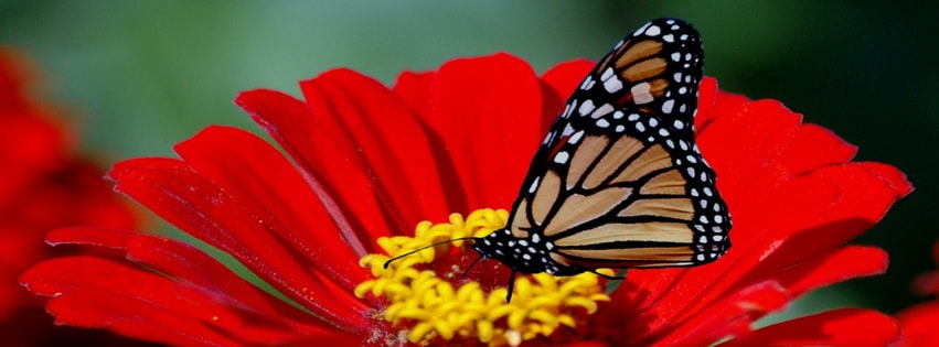Butterfly Flower Facebook cover photo