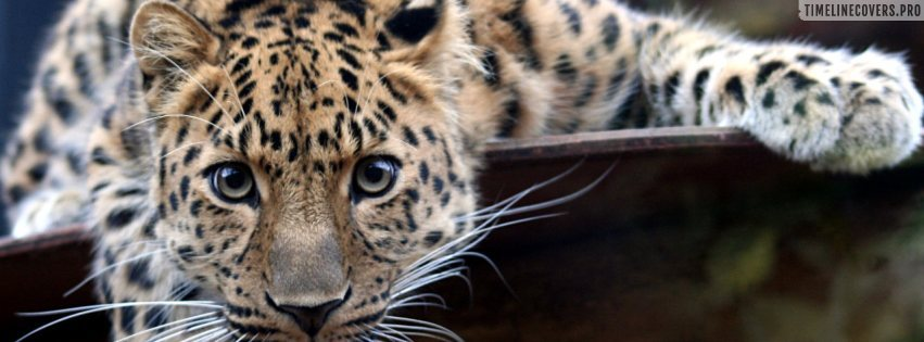 Leopard Magnet Eyes Facebook cover photo