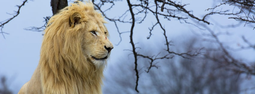 Peaceful Lion Facebook cover photo