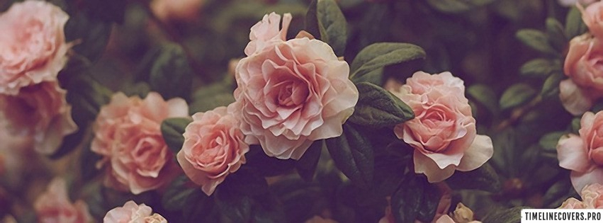 Pink Roses Vintage Facebook cover photo