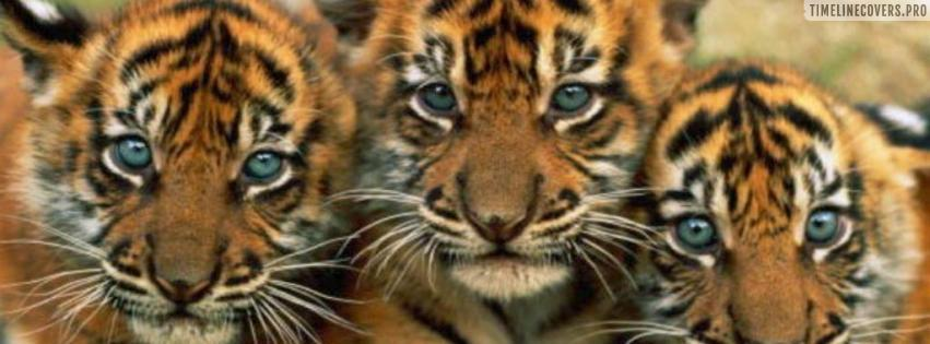 Three Tiger Cubs Facebook cover photo