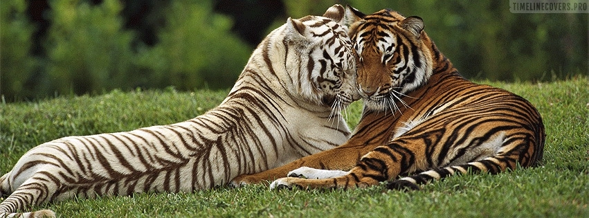 Tigers in Love Facebook cover photo