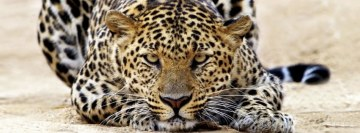 Amazing Leopard Facebook Cover