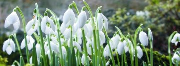 Beautiful Snowdrops Facebook Background