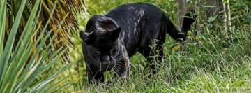 Black Panther in The Wild