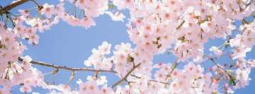 Cherry Blossom Tree Facebook Cover Photo