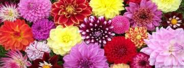 Colorful Dahlias Flowers Facebook Background TimeLine Cover