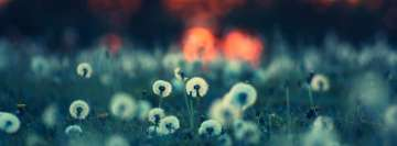 Dandelion Field Facebook cover photo