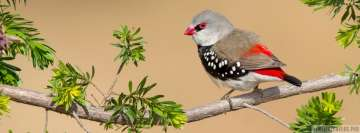 Diamond Firetail Bird Facebook Cover-ups