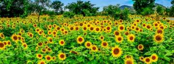 Field of Sunflowers Fb Cover
