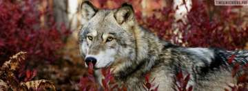 Gray Wolf Behind Red Leaves