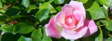 Huge Pink Rose Flower in The Garden Facebook Wall Image