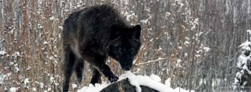 Hunting Black Wolf Facebook Wall Image