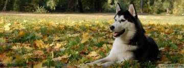 Husky Dog Laying in Grass Facebook cover photo