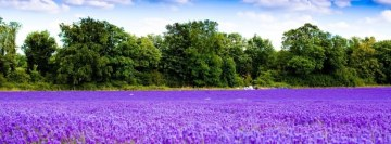 Lavender Blossom Field Facebook Background TimeLine Cover