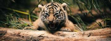 Little Savage Tiger