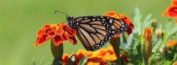 Monarch Butterfly Perched on Marigold Flower Facebook Cover Photo