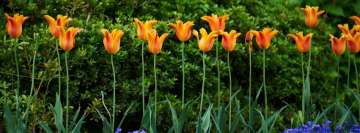 Orange Tulips Flowers Facebook Cover Photo