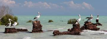 Pelicans at See Facebook Cover Photo