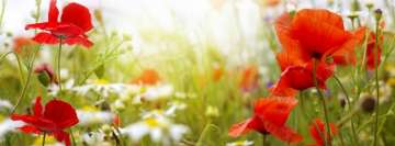 Poppy Flowers on a Green Field Facebook cover photo
