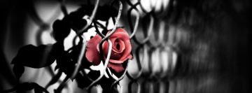 Rose in a Fence Facebook Cover