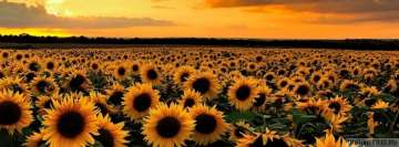 Sunflower Field at Sunset Facebook Wall Image