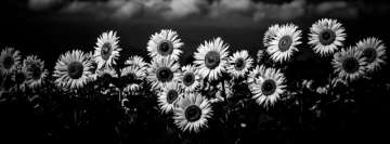 Sunflower Field Black and White Facebook Banner