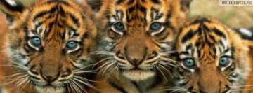 Three Tiger Cubs Facebook Cover
