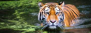 Tiger in River Facebook Cover