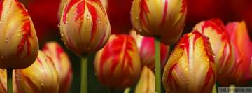 Tulips Opening Soon Facebook cover photo