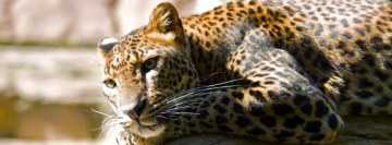 Wonderful Leopard Facebook Cover