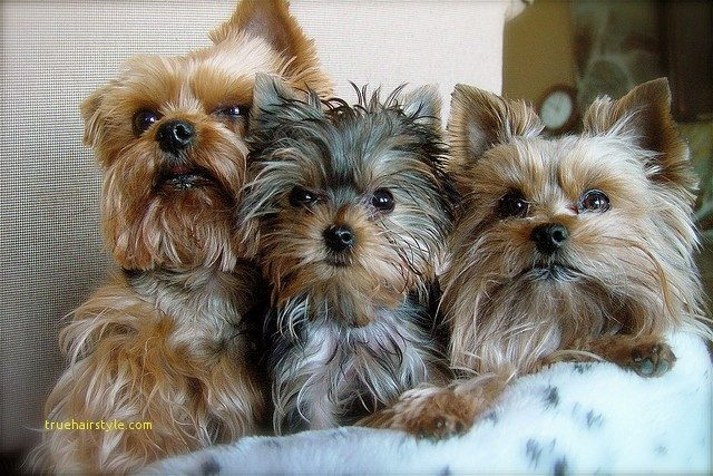 inspirational cute short yorkie haircuts 1