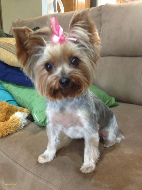 inspirational cute short yorkie haircuts