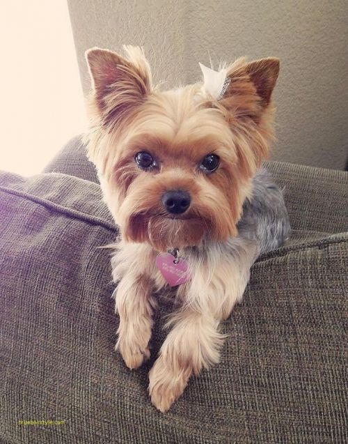 luxury cute short yorkie haircuts
