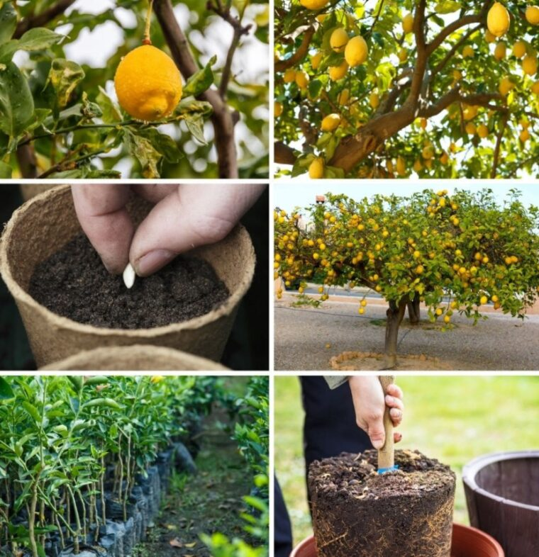 7 Reasons Why Every Kitchen Needs a Lemon Tree - 2021 Guide 4