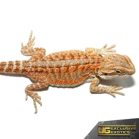Baby Flame Of Olympus Bearded Dragon For Sale - Underground Reptiles