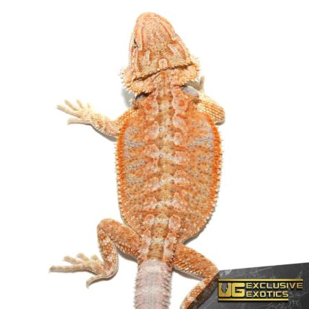 Baby Hypo Summer Stripe Bearded Dragons For Sale - Underground Reptiles