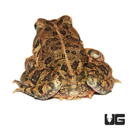 Southern Toads For Sale - Underground Reptiles