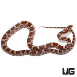 Yearling Classic Cornsnakes For Sale - Underground Reptiles