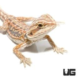 Baby Hypo Blue Bar Leatherback Bearded Dragon For Sale - Underground Reptiles