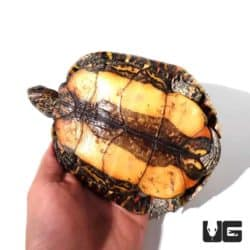 Central American Wood Turtles For Sale - Underground Reptiles