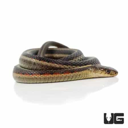 Northern Garter Snakes For Sale - Underground Reptiles