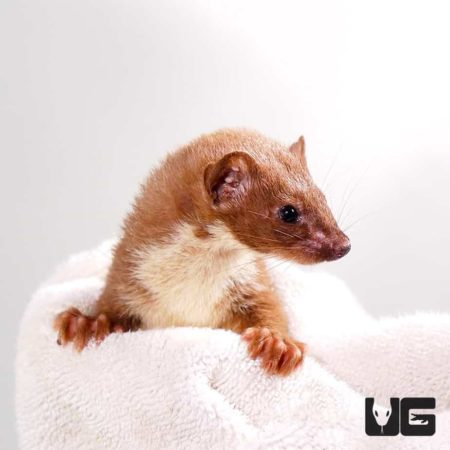 Least Weasel For Sale - Underground Reptiles