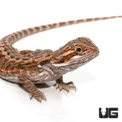 6-8 Inch Citrus Bearded Dragon For Sale - Underground Reptiles