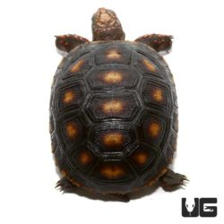 Baby Redfoot Tortoises For Sale - Underground Reptiles