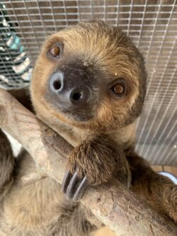 Two Toed Sloth For Sale - Underground Reptiles