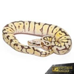 Baby Bumblebee Fire Scaleless Head Ball Python For Sale - Underground Reptiles